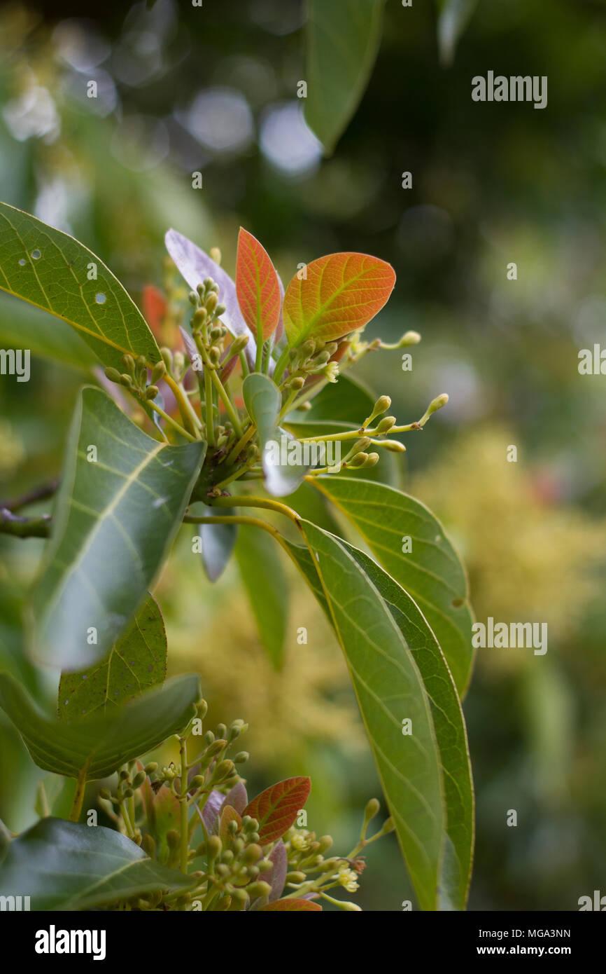 Au Moment De La Pollinisation Des Fleurs D Avocat Banque D Images