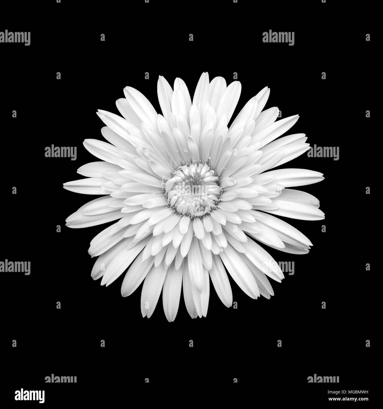 Fleur De Chrysantheme Blanc Et Noir Banque D Images Photo Stock