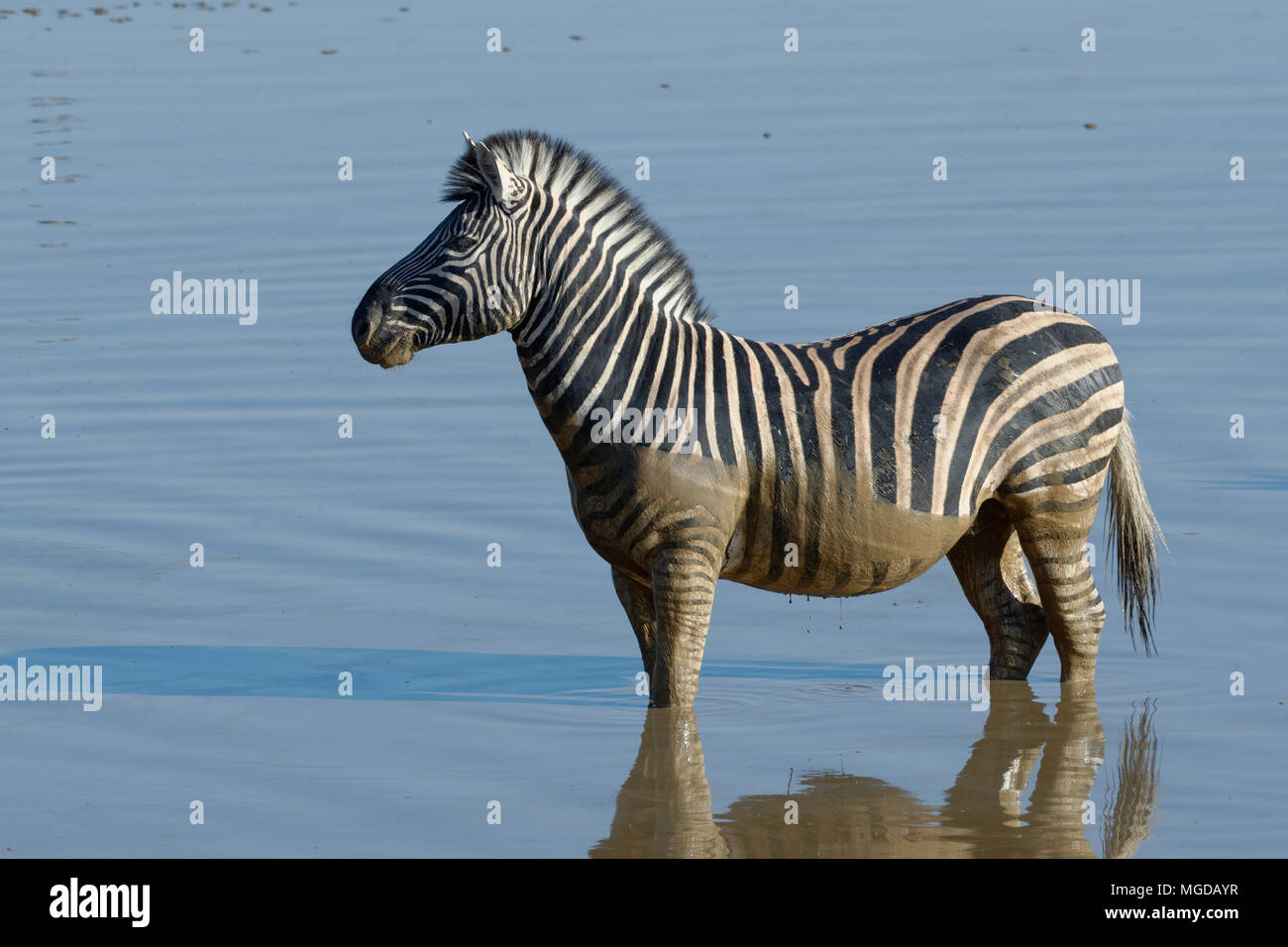 Le zèbre de Burchell (Equus quagga burchellii) debout dans l'eau boueuse, point d'Okaukuejo, Etosha National Park, Namibie, Afrique Photo Stock