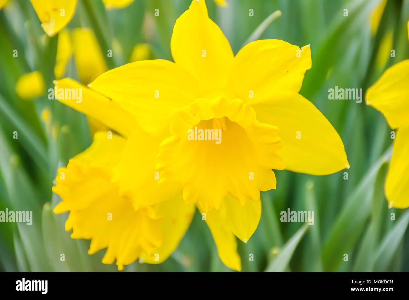 Les Jonquilles Fleurissent Sur Le Sol De La Foret Au Printemps