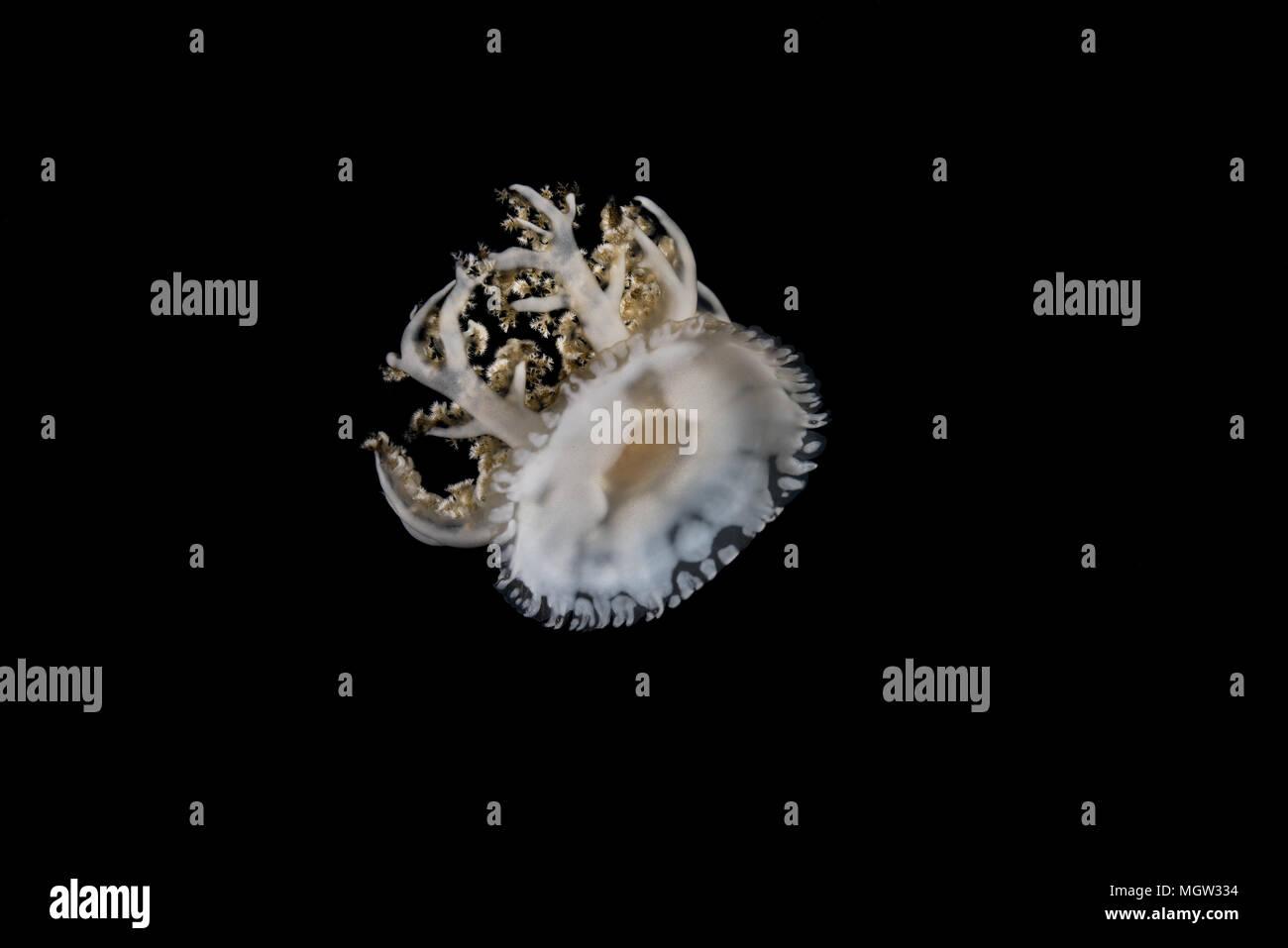 L'envers (méduses Cassiopea andromeda) dans la nuit Photo Stock