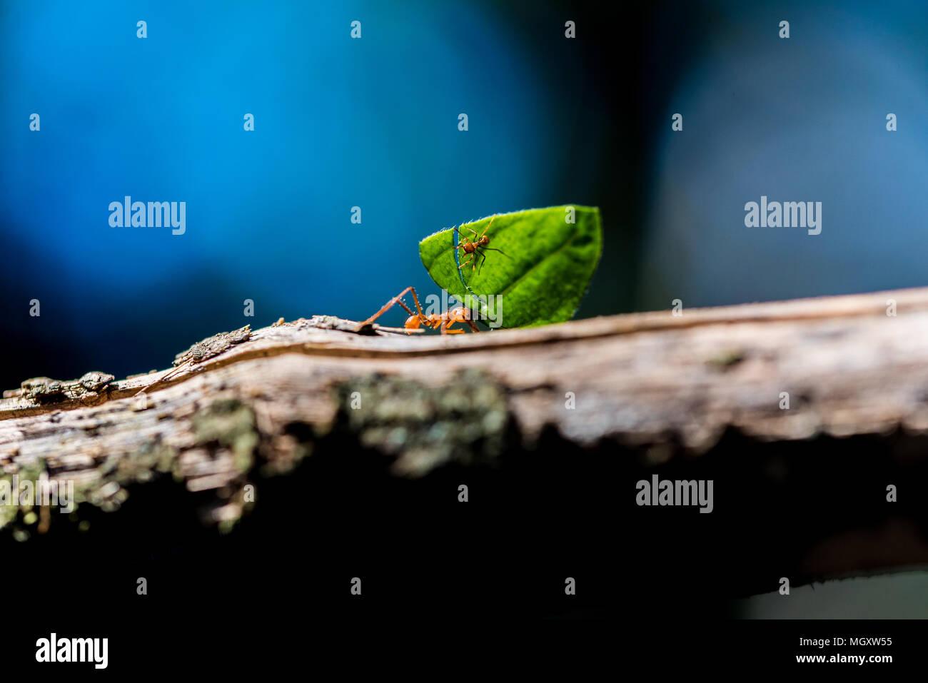 Les fourmis transportent sur les feuilles Photo Stock