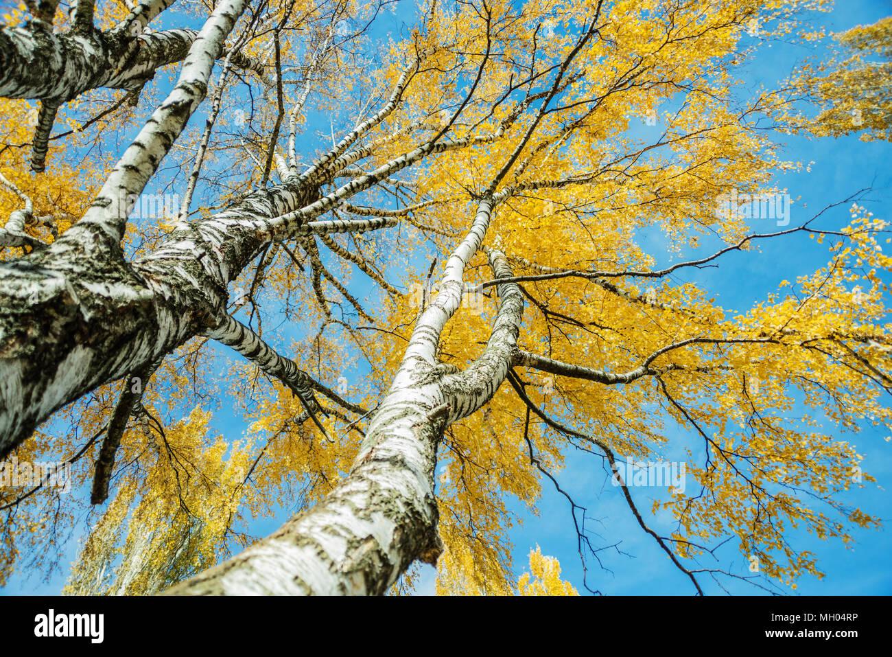 foto de Vieux bouleaux jaunes de l'automne avec les feuilles contre le ...