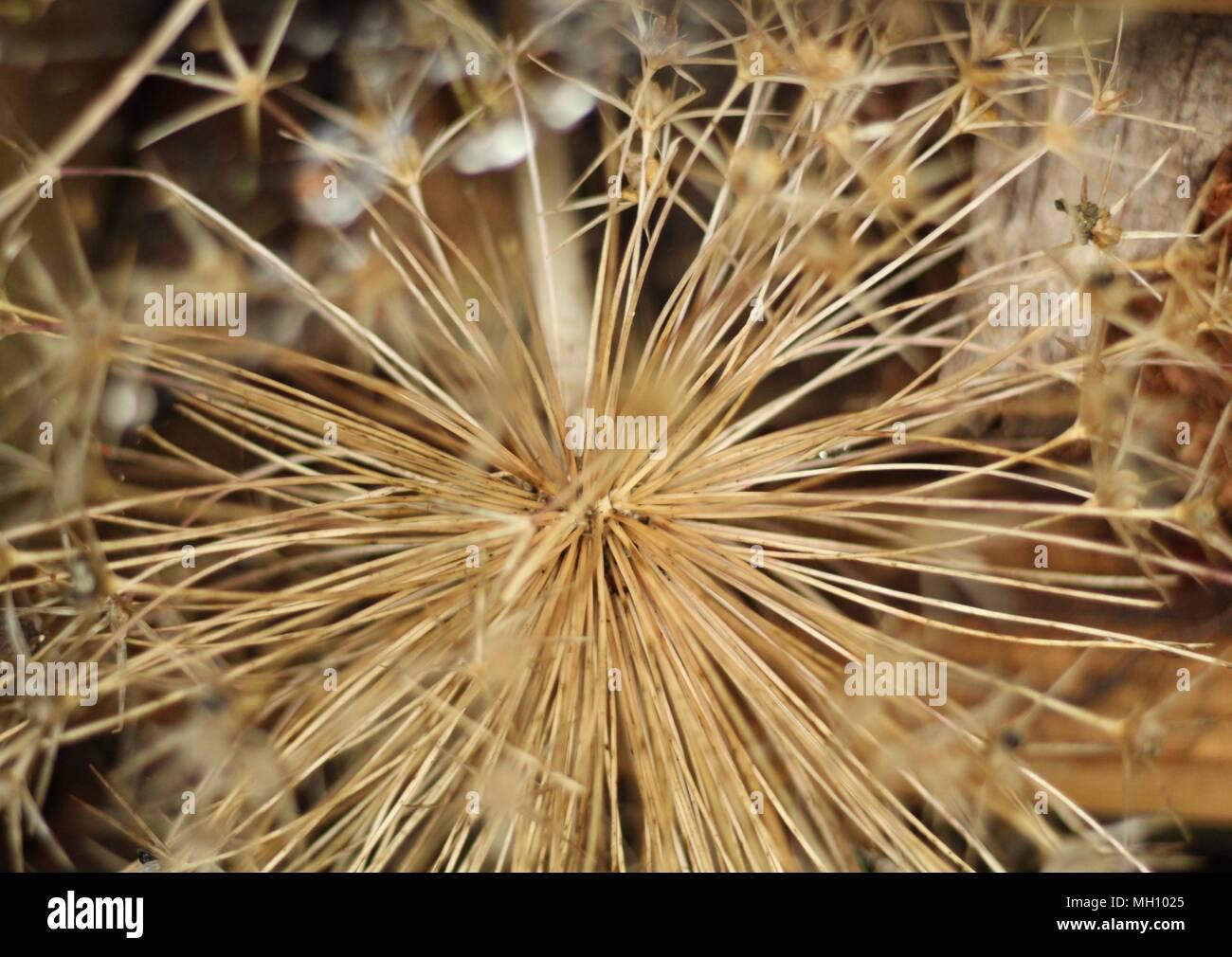 Les vivaces mortes - Close-up shot of seedhead après la pluie. Photo Stock