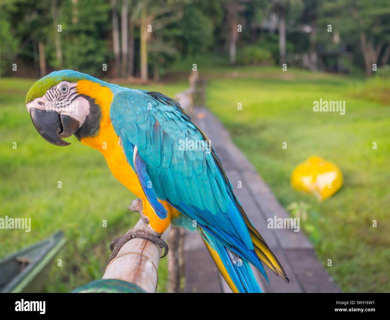 Beau, bleu et jaune (parrot macaw) dans la jungle amazonienne Photo Stock