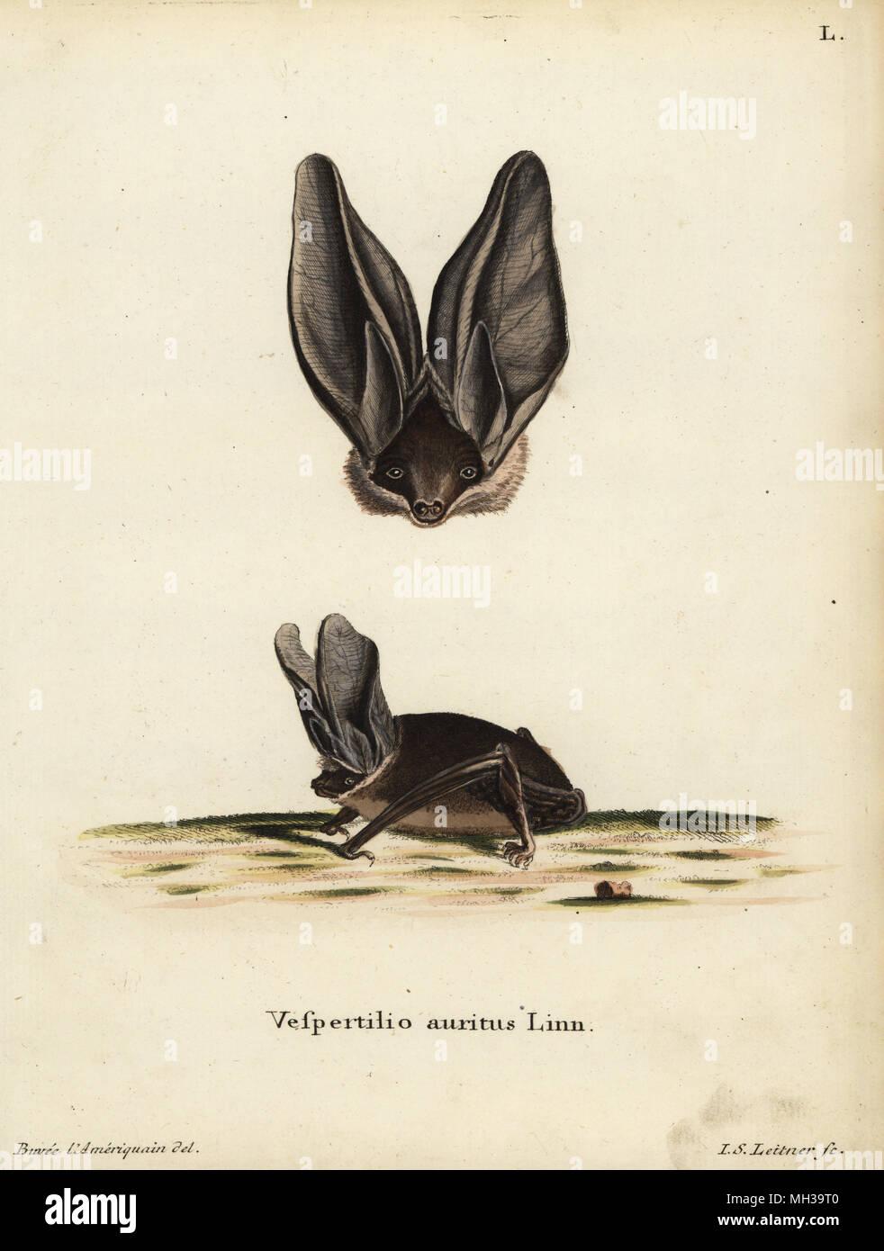 5ff5e83ace6a38 Grande chauve-souris brune, Plecotus auritus. Vespertilio auritus Linn.  Coloriée à la gravure sur cuivre de ...