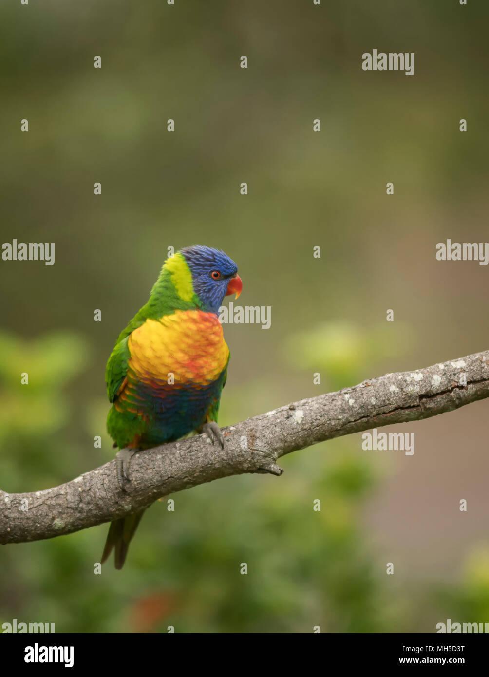 Rainbow Lorikeet isolé sur un arrière-plan, avec un flou d'arrière-plan de la nature. Banque D'Images