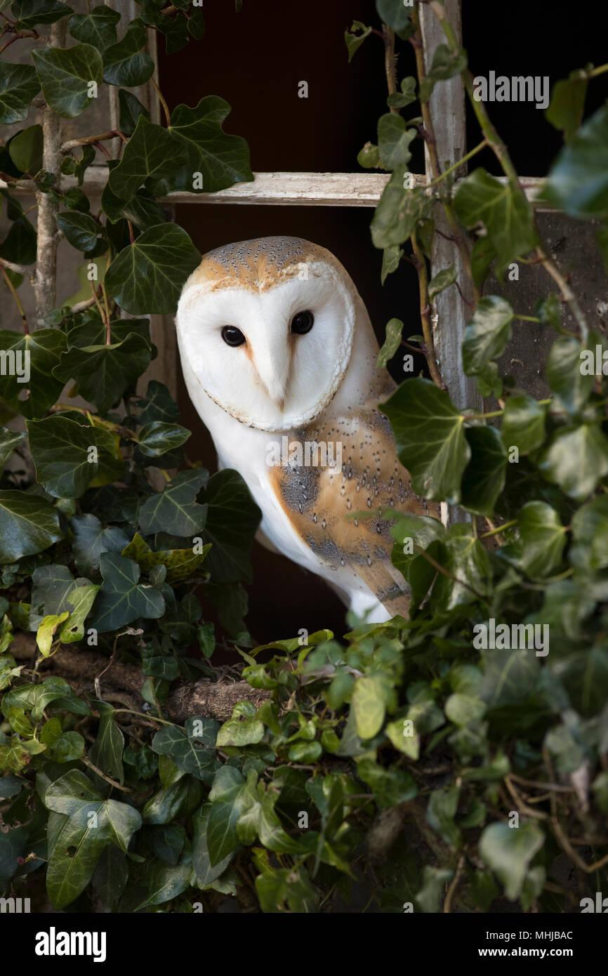 Effraie des clochers Tyto alba; seule la fenêtre couverte de lierre; Cornwall UK Photo Stock