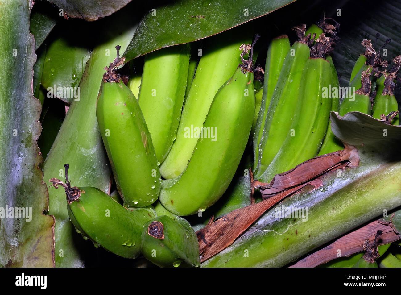 Une Banane Est Un Fruit Comestible Botaniquement Un Berry
