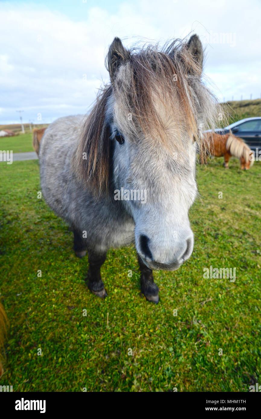 Sur la tête à poneys Shetland Photo Stock