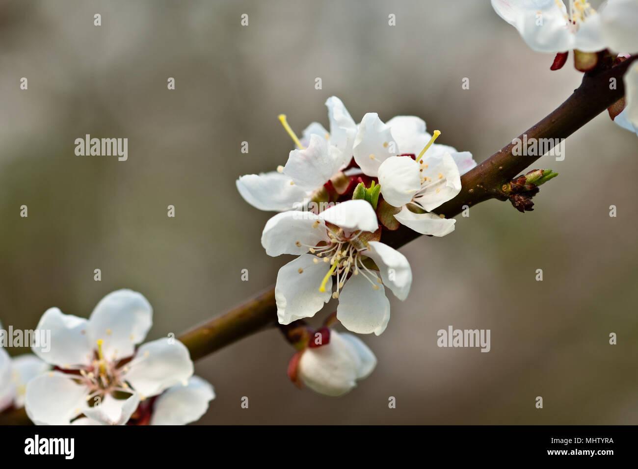 Belle Japanese Cherry Blossom Sakura Fleur Sur Un Arbre Fleur