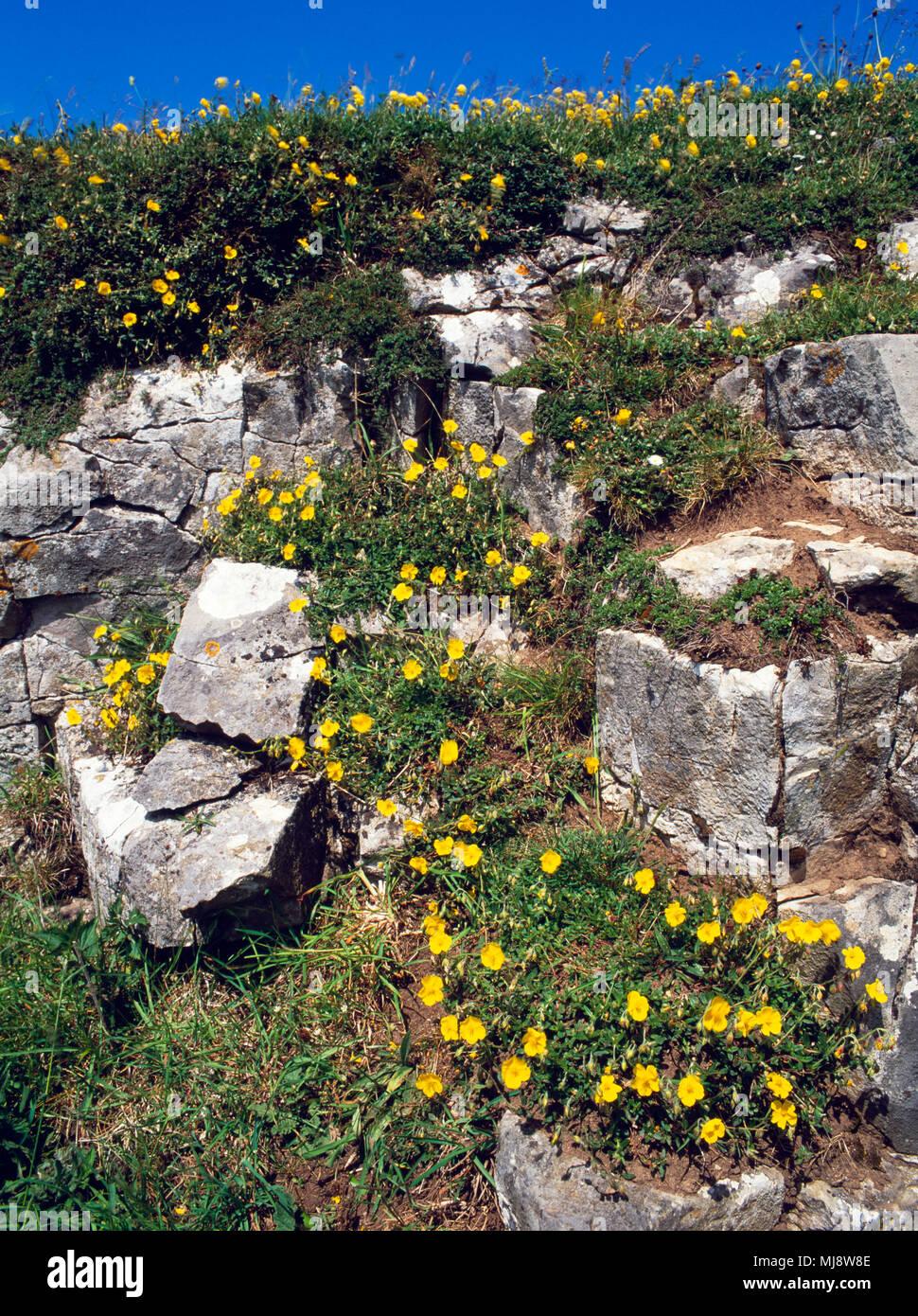 Rock commun-rose, Helianthemum nummularium, poussant sur affleurement calcaire orienté plein sud sur la Colline du GOP, Trelawnyd; Flintshire, au nord du Pays de Galles. De juin. Banque D'Images