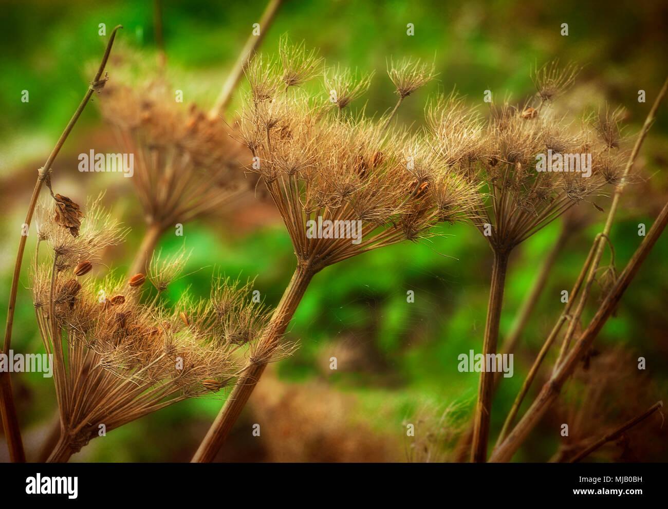 Vestiges de la saison en cours ou leur structure délicate plantes séchées se distingue. Photo Stock