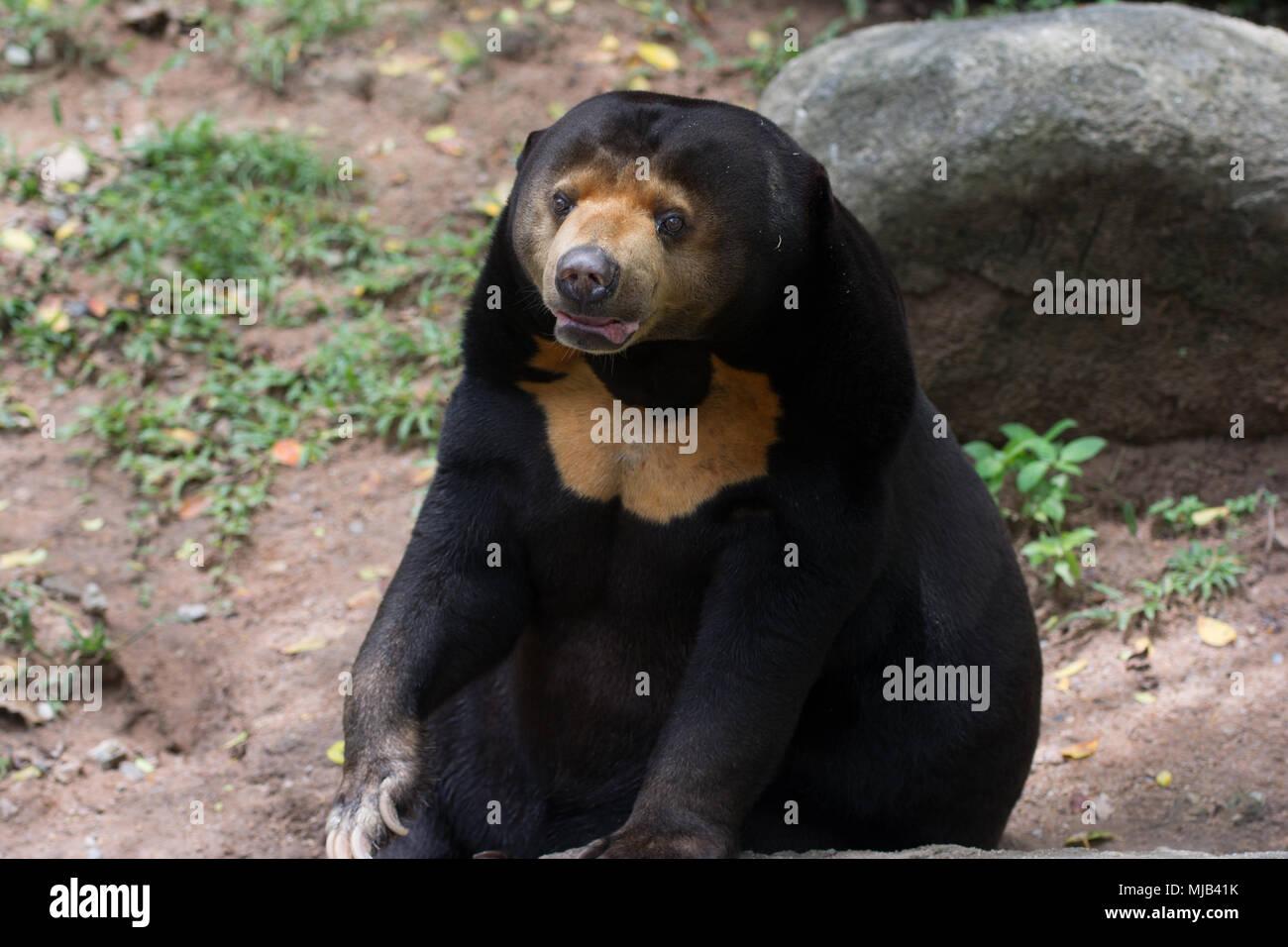 Un ours noir d'Asie Photo Stock