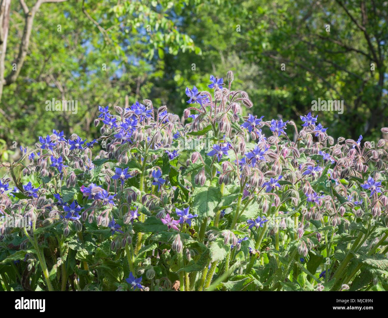 La bourrache plante plein de fleurs en forme d 39 toile bleu for Plante pendante
