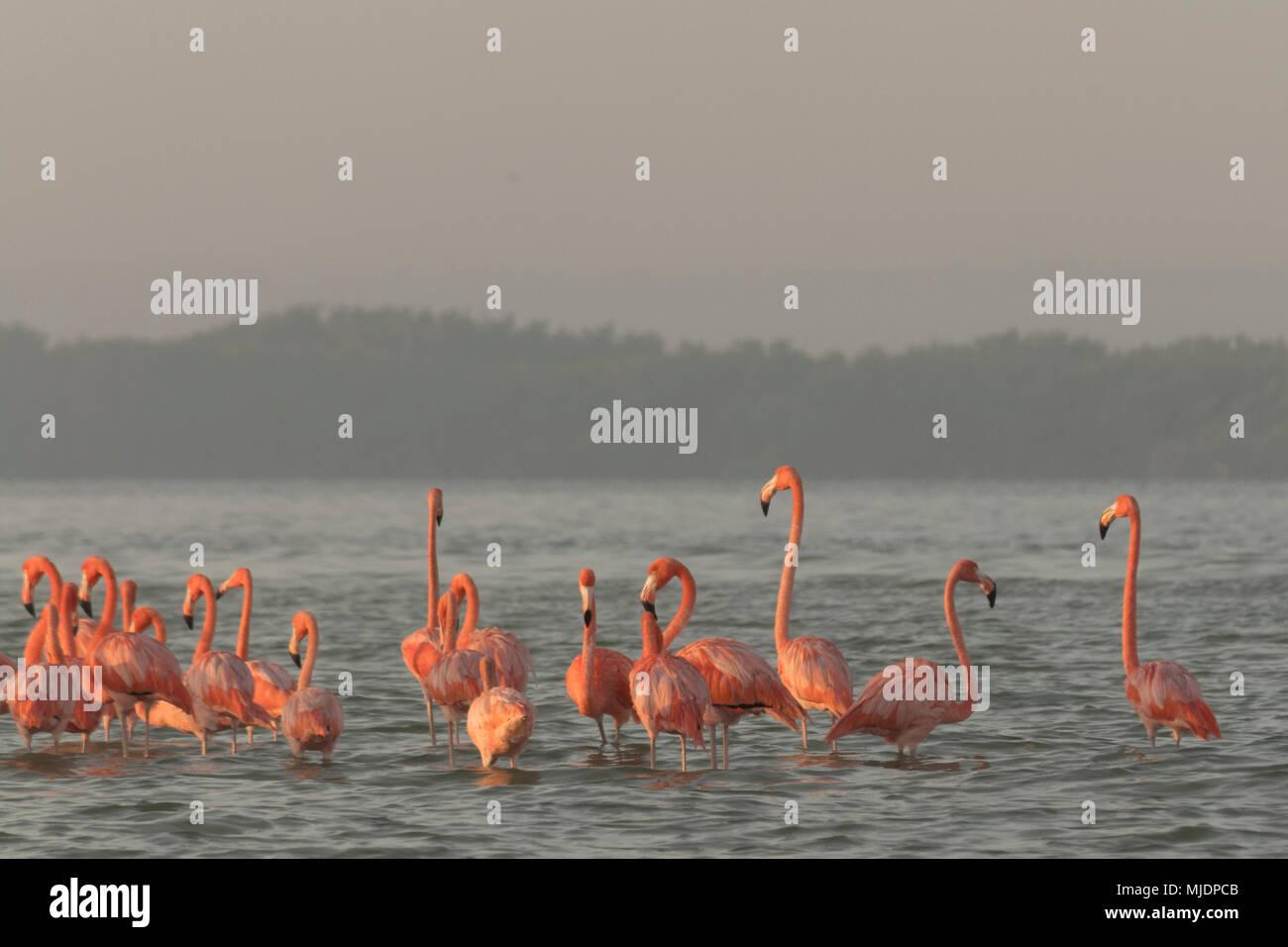 La famille des flamants roses à l'aube. Flamants Roses se rassemblent à l'aube avant de commencer la journée dans la rivière Photo Stock