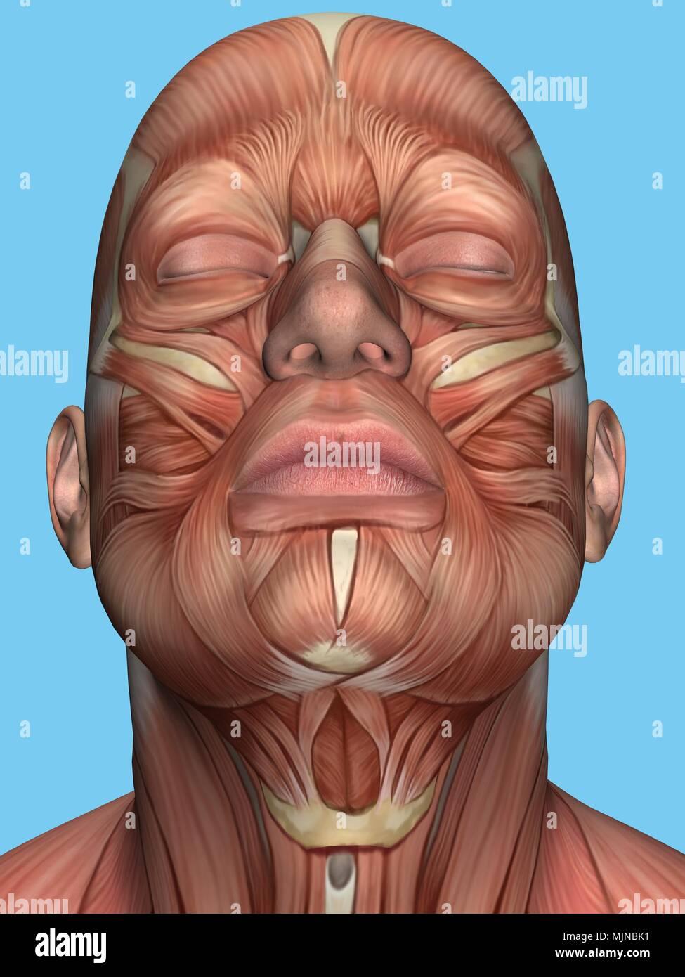 Anatomie des muscles du visage et du cou. Photo Stock