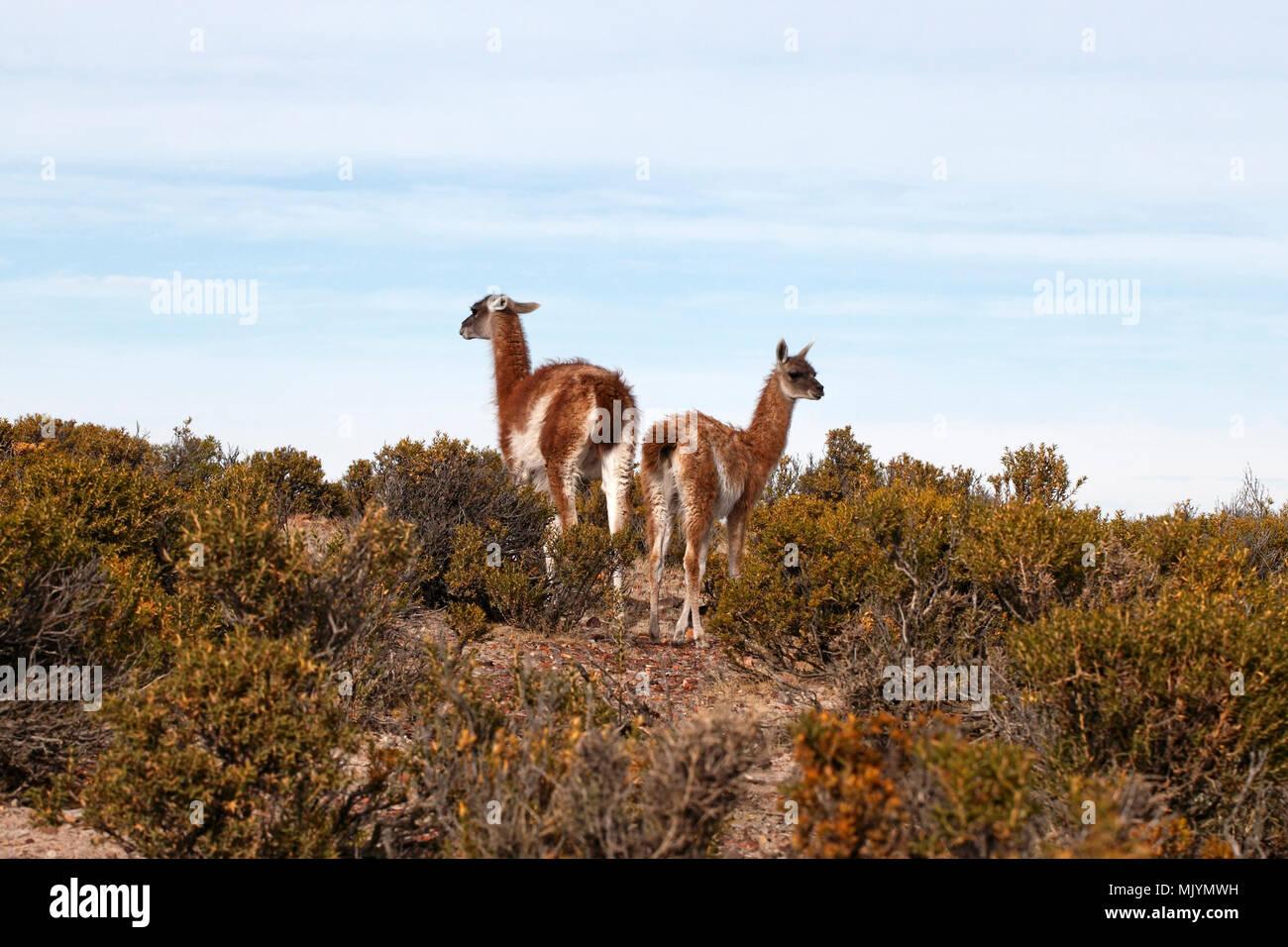 La mère et les jeunes, des guanacos. La Patagonie. Banque D'Images