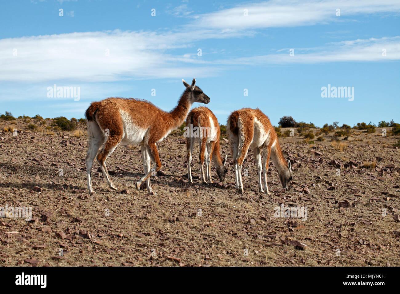 Mère et deux jeunes guanacos. Les roches du désert de Patagonie, de l'habitat et de garrigue. Banque D'Images