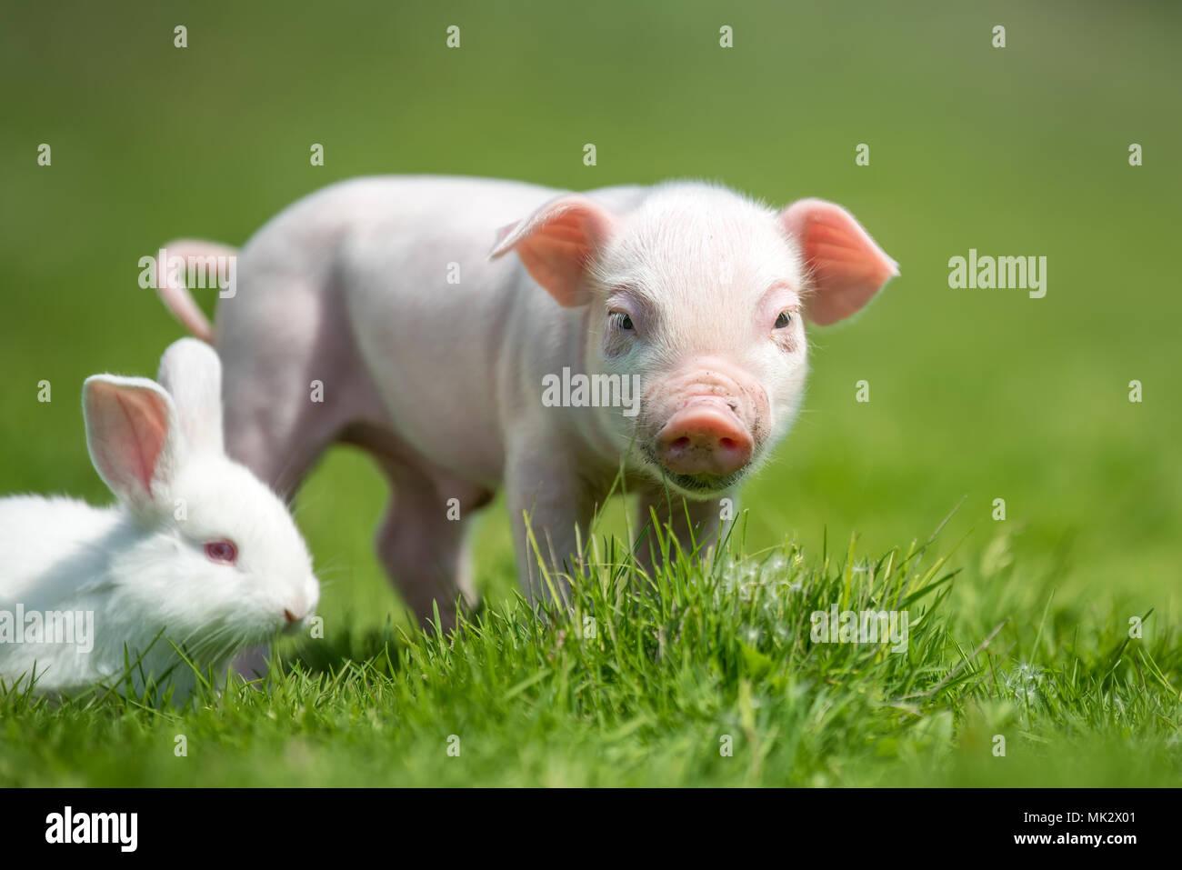 Porcelet nouveau-né et lapin blanc sur l'herbe verte du printemps à la ferme Photo Stock