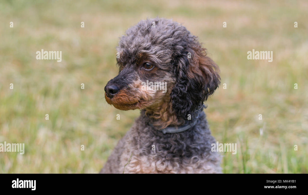 Adorable chien caniche Sable moelleux Photo Stock