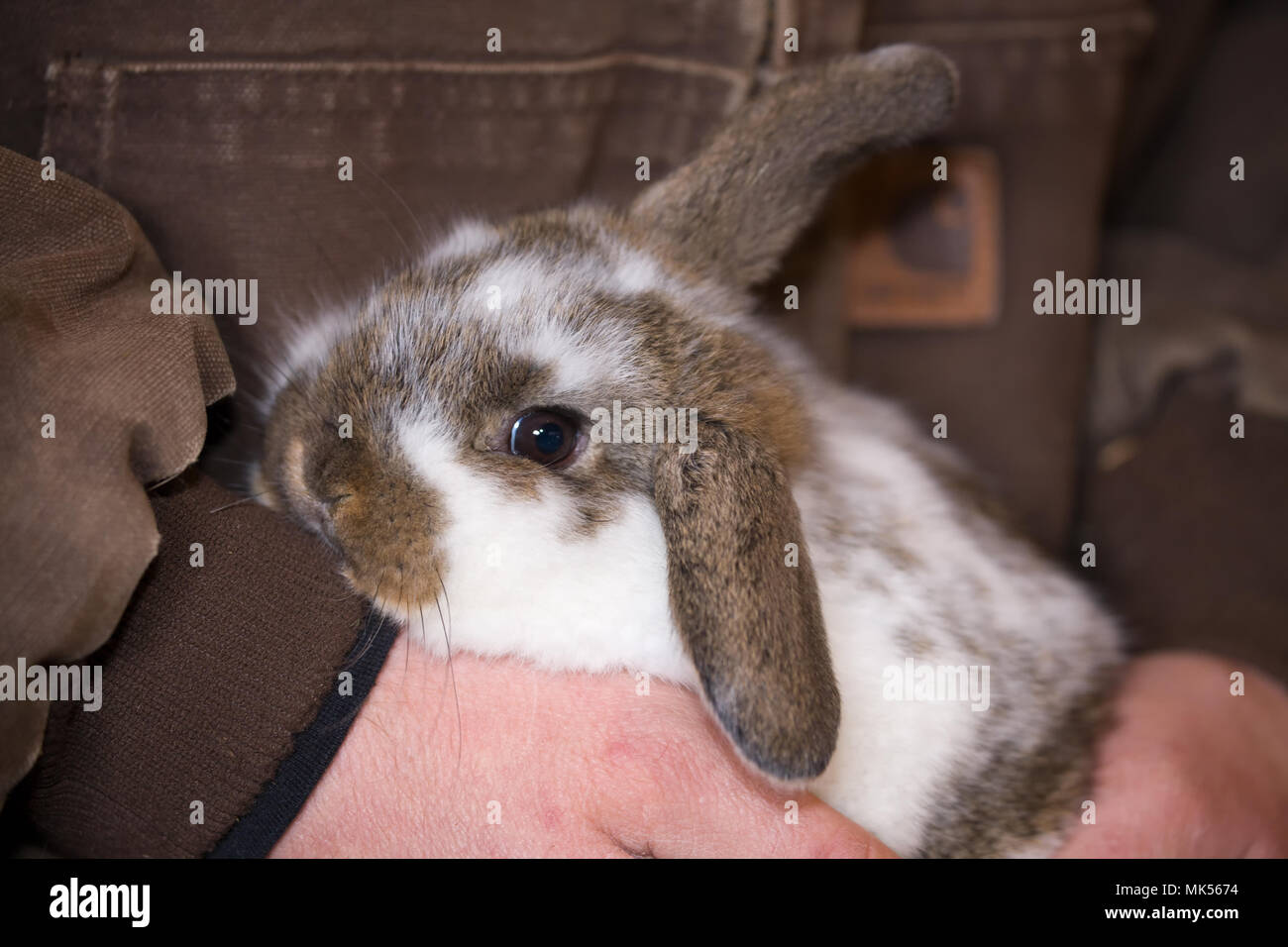 Hibou Lop bunny détenu par un homme tendrement. (PR) (MR) Photo Stock
