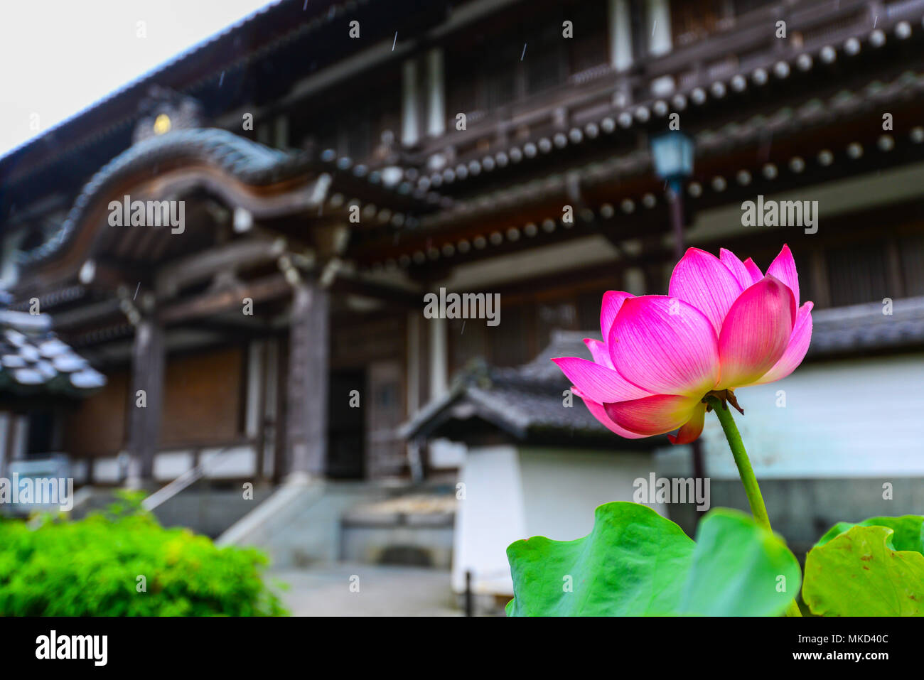Pink Lotus Design Background In Photos Pink Lotus Design