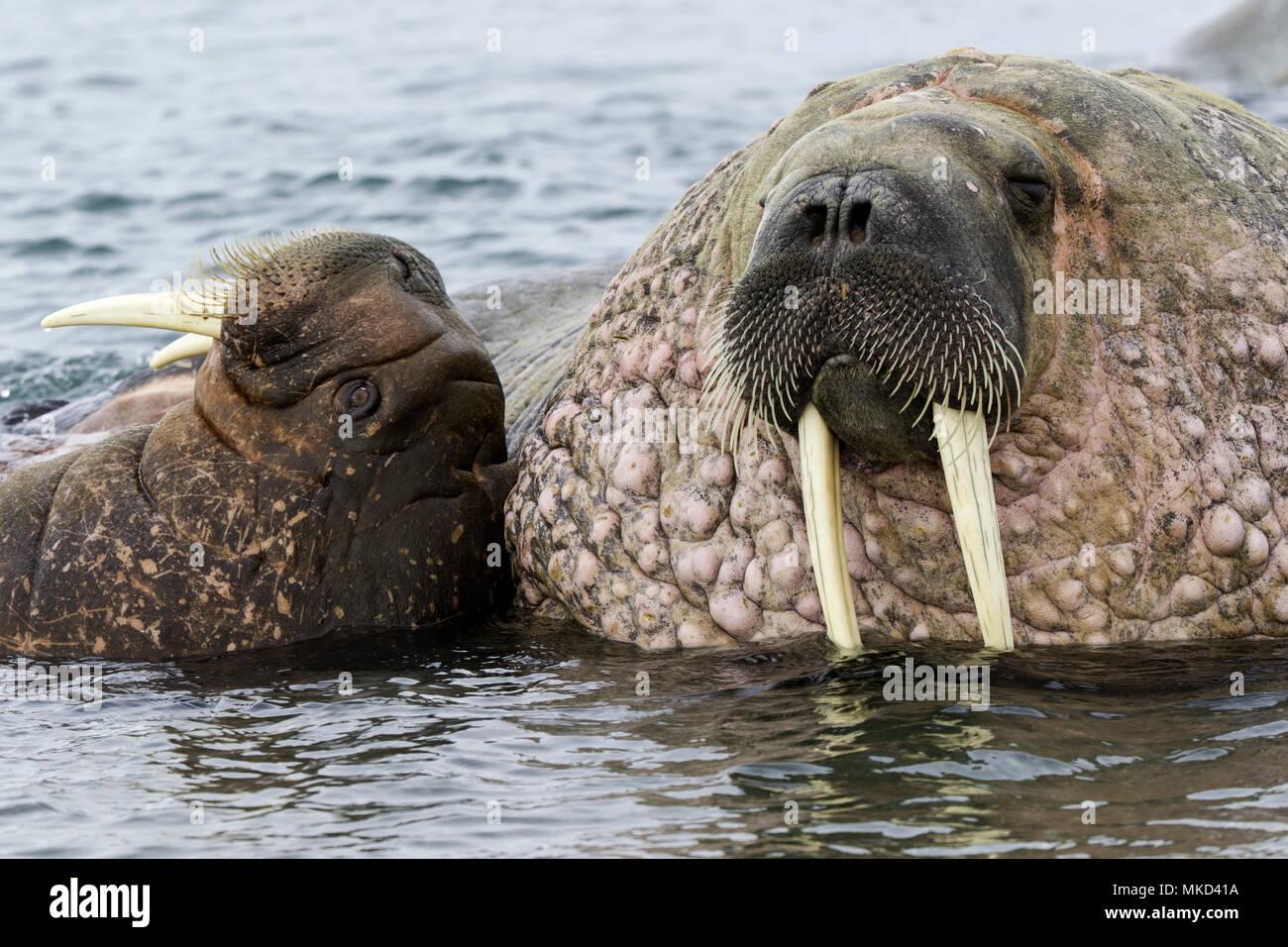 Paire de morse (Odobenus rosmarus), un adulte et un jeune jouant avec leurs défenses, vulnérables (UICN), Spitsbergen, Svalbard, archipel norvégien, la Norvège, l'Océan Arctique Photo Stock