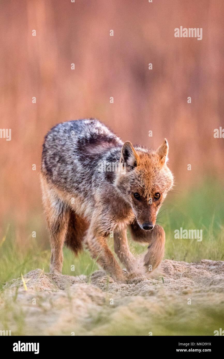 Le Chacal (Canis aureus'moreoticus), delta du Danube, Roumanie Banque D'Images