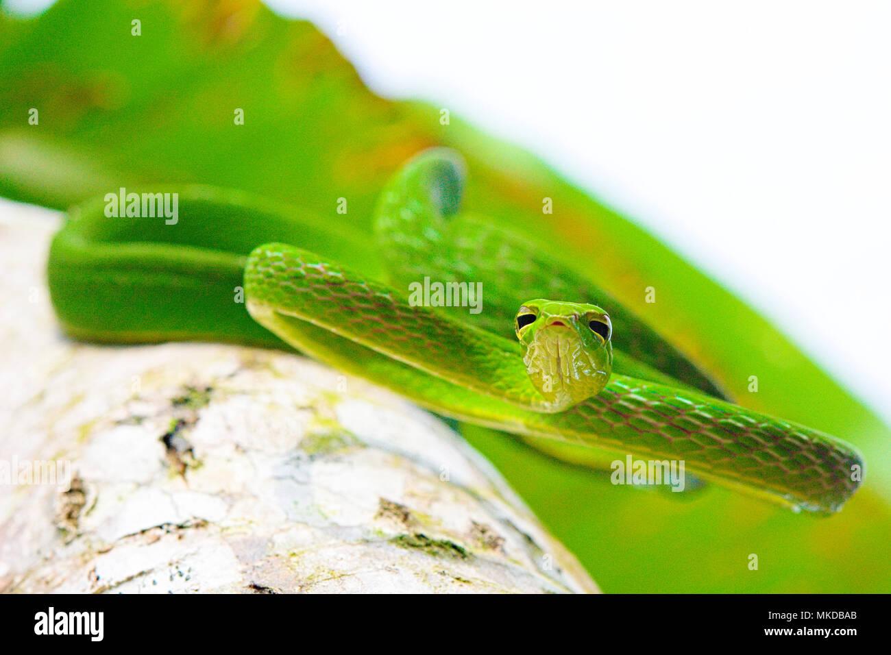Serpent de vigne (Ahaetulla prasina) de Tomohon Sulawesi du Nord. Banque D'Images