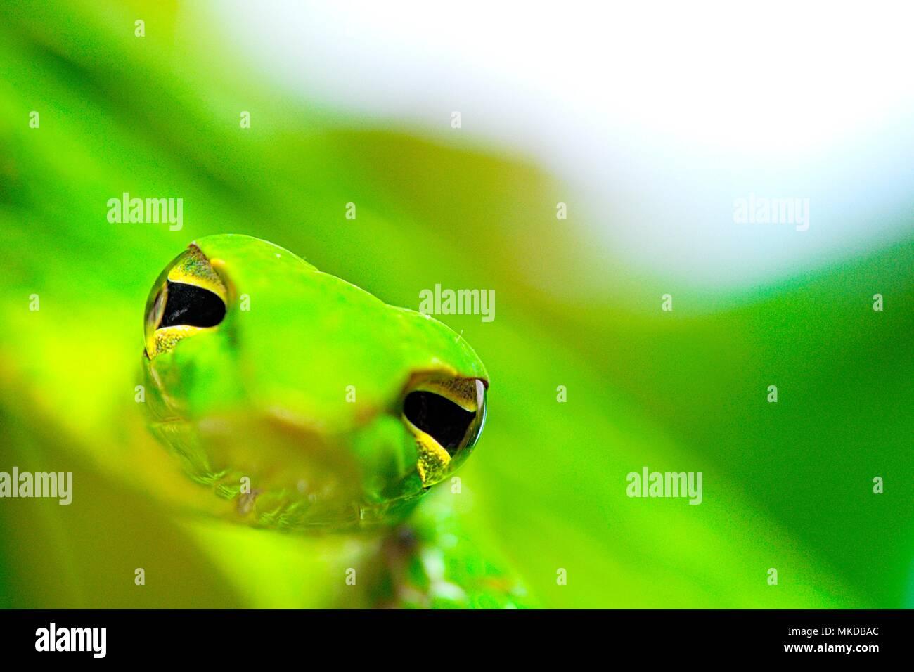 Portrait de serpent de vigne (Ahaetulla prasina) de Tomohon Sulawesi du Nord. Banque D'Images