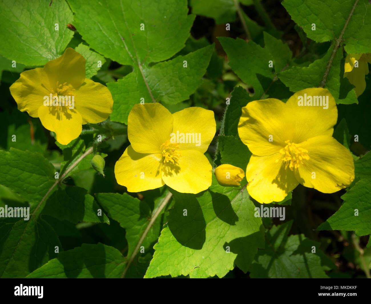 La fin du printemps fleurs jaunes de la plante vivace plante jardin ...