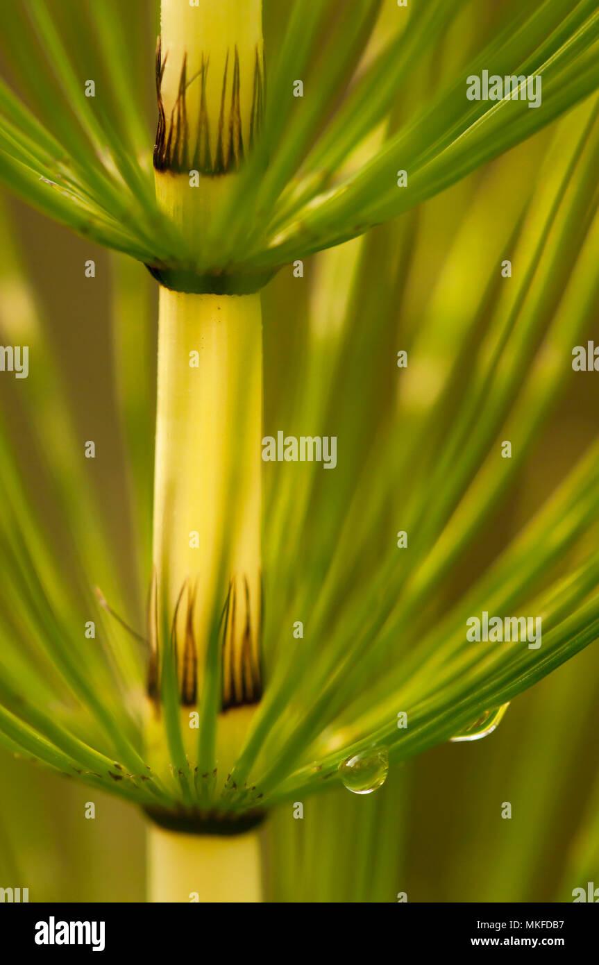 La prêle des champs (Equisetum arvense) Banque D'Images