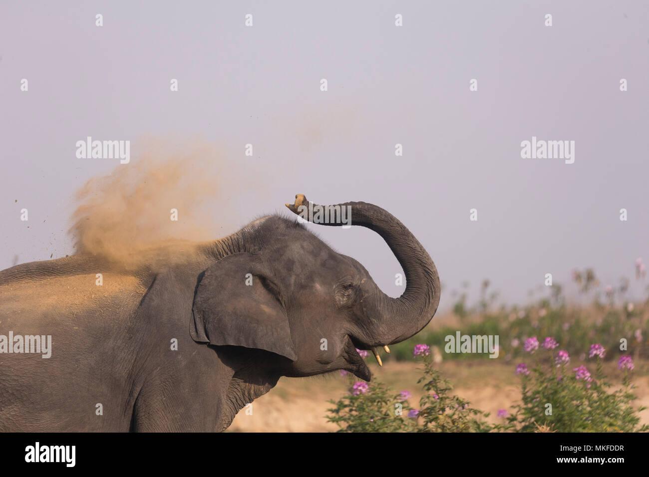Les éléphants d'Asie (Elephas maximus) poussières baignade, parc national de Kaziranga, état de l'Assam, Inde Photo Stock