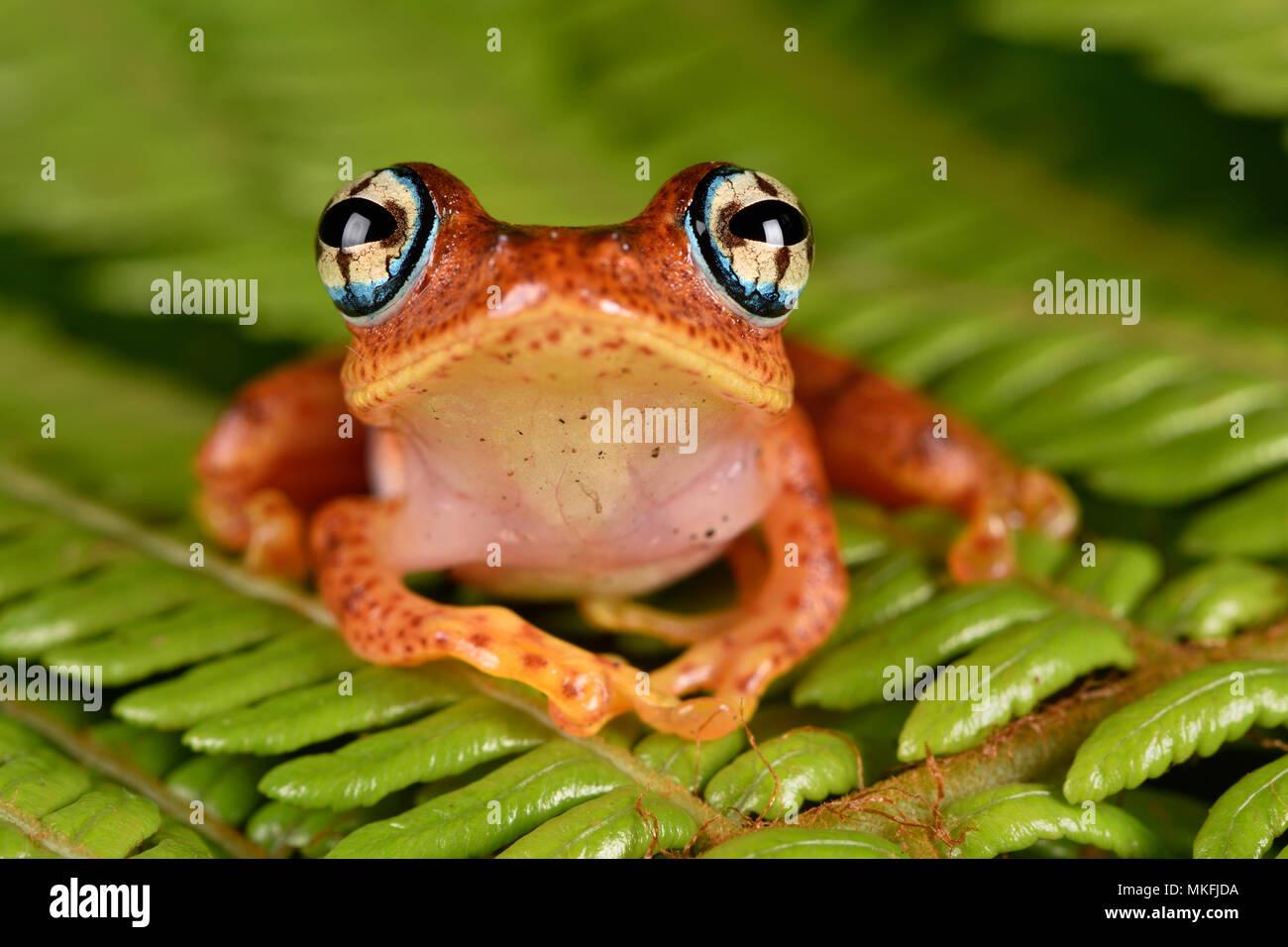 Fiery grenouille aux yeux brillants (Boophis pyrrhus), Andasibe, Perinet, Région Alaotra-Mangoro, Madagascar Photo Stock
