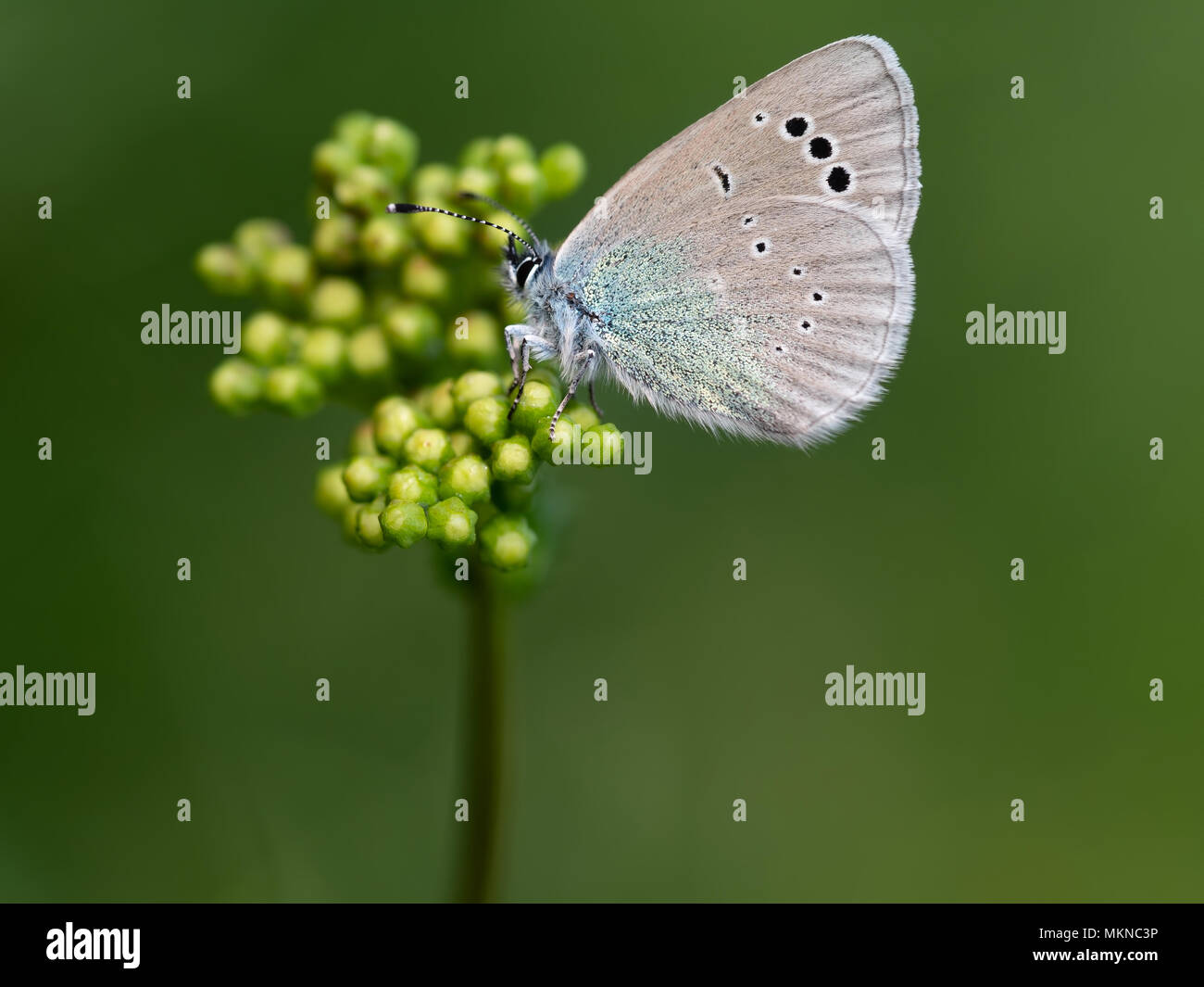 Face inférieure vert-bleu. Glaucopsyche alexis. Photo Stock