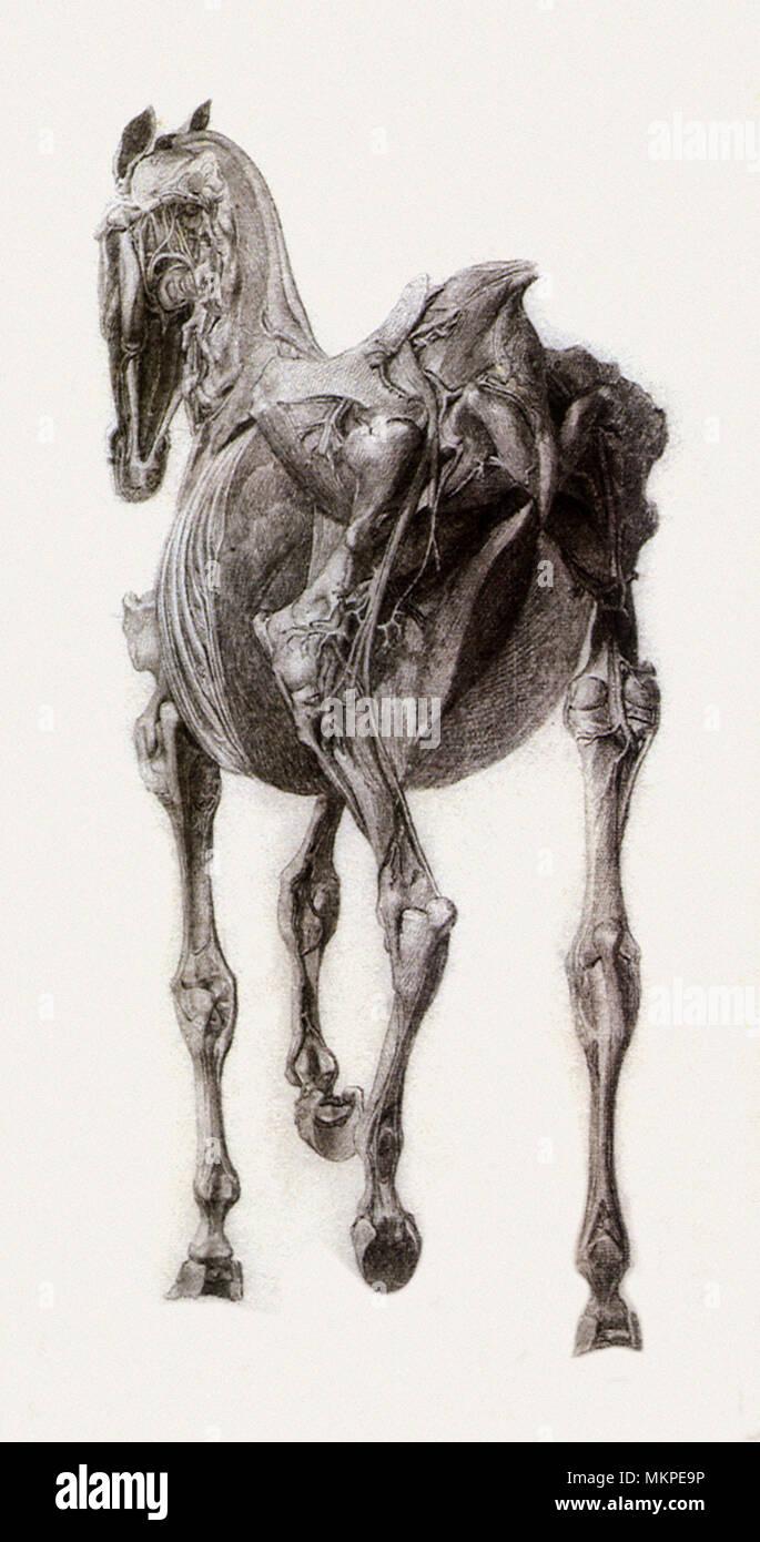 L'étude terminée pour la quinzième Tableau anatomique Banque D'Images