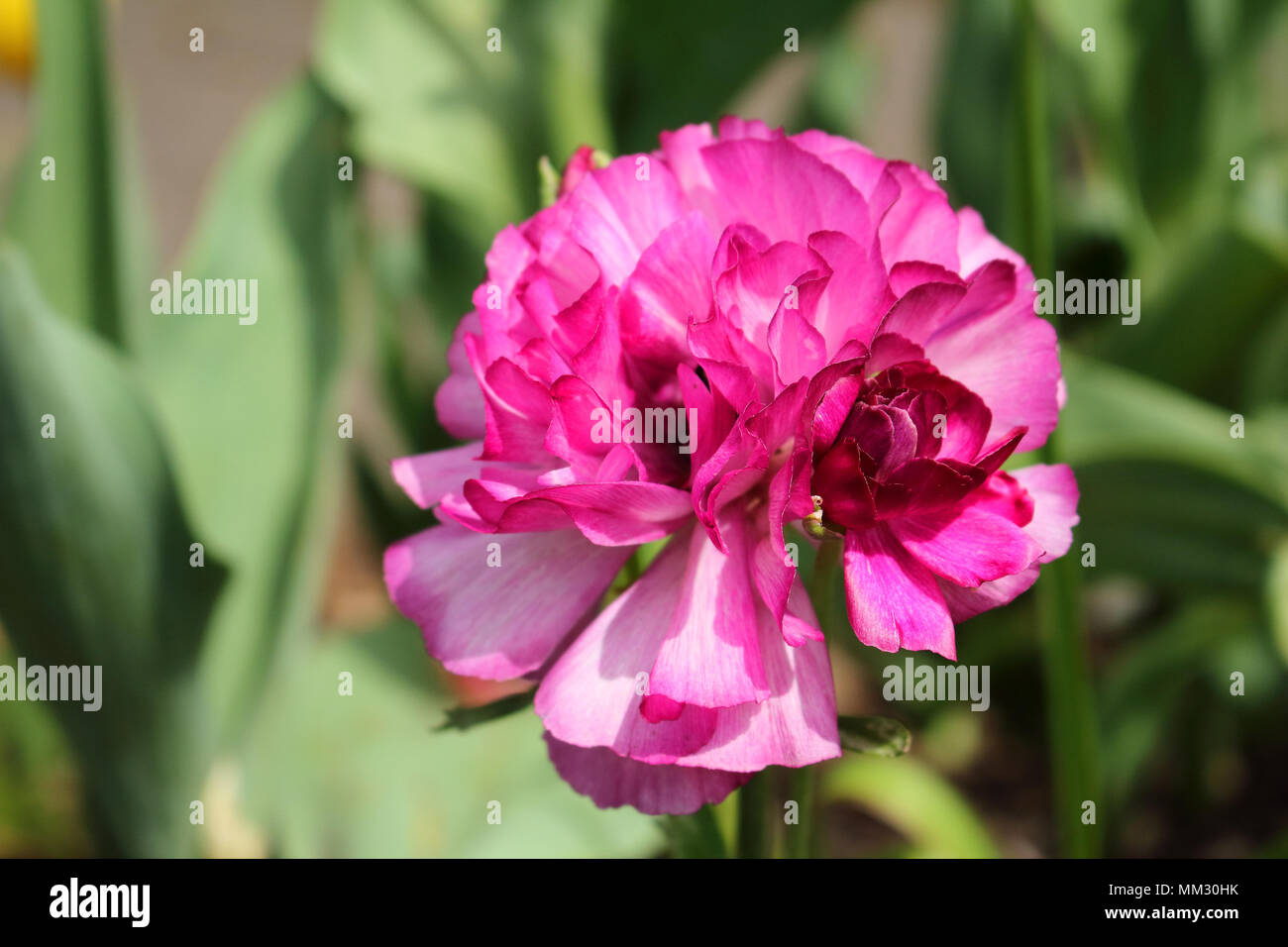 Rose Rose Fleur Nature Contexte Floral Roses Jardin Beaute