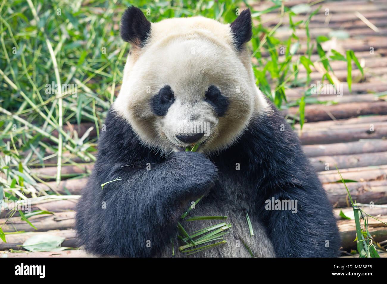 Portrait d'un grand panda eating bamboo . . Photo Stock