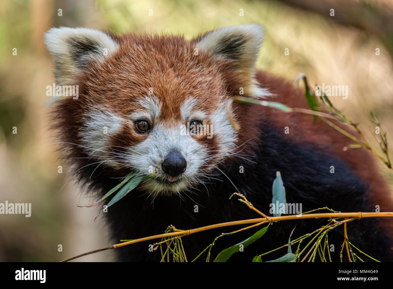 Le Panda rouge ou également connu sous le nom de l'Cat-Bear rouge. Il est légèrement plus grand qu'un chat domestique et est mosty trouvés dans l'Est de l'Himalaya Photo Stock