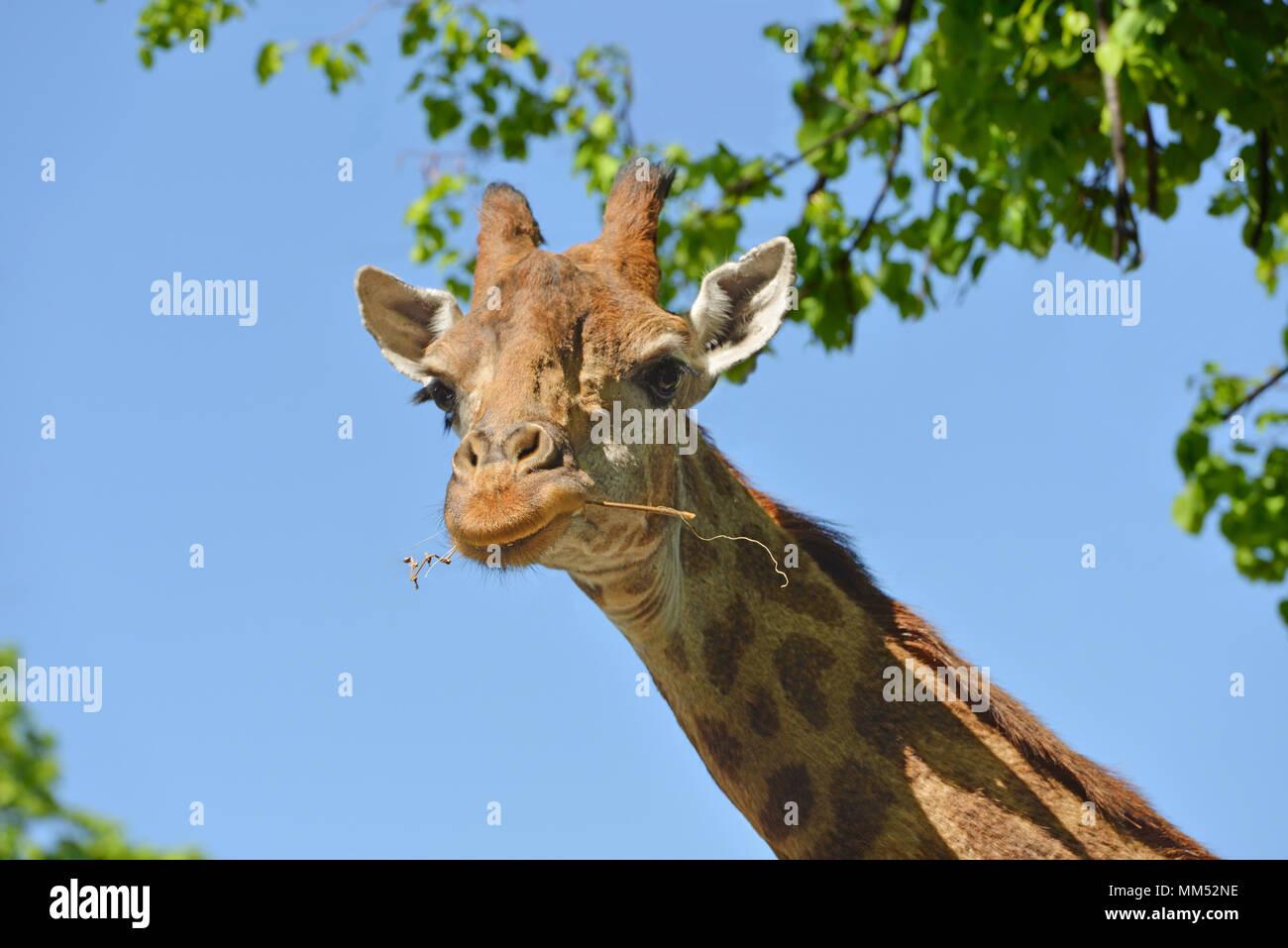 Girafe (Giraffa camelopardalis giraffa). Portrait sur fond de ciel bleu Photo Stock
