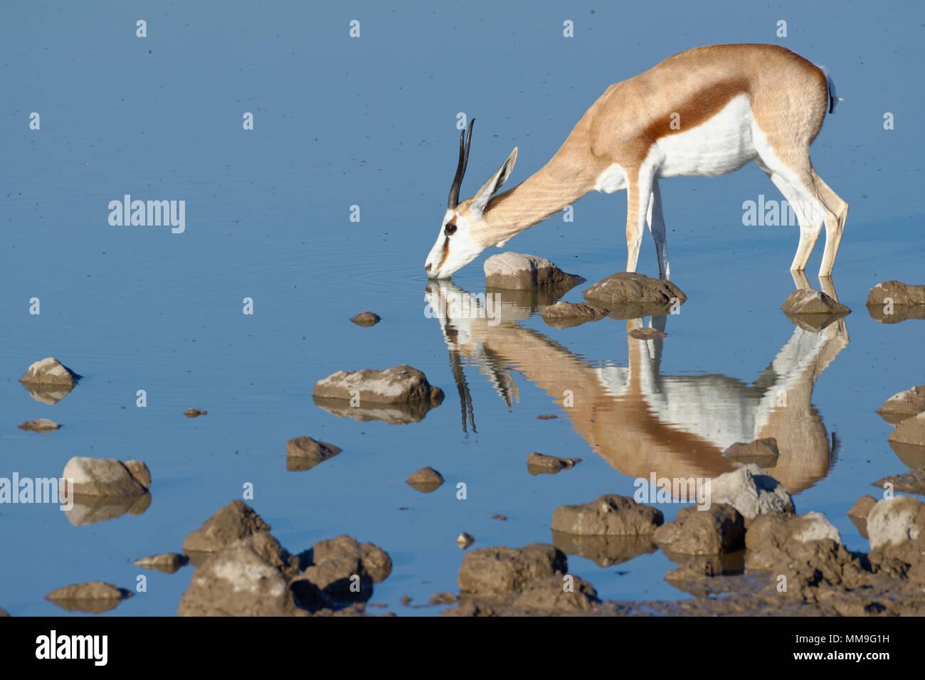 Le Springbok (Antidorcas marsupialis), femelle adulte debout dans l'eau, d'alcool, point d'Okaukuejo, Etosha National Park, Namibie, Afrique Photo Stock