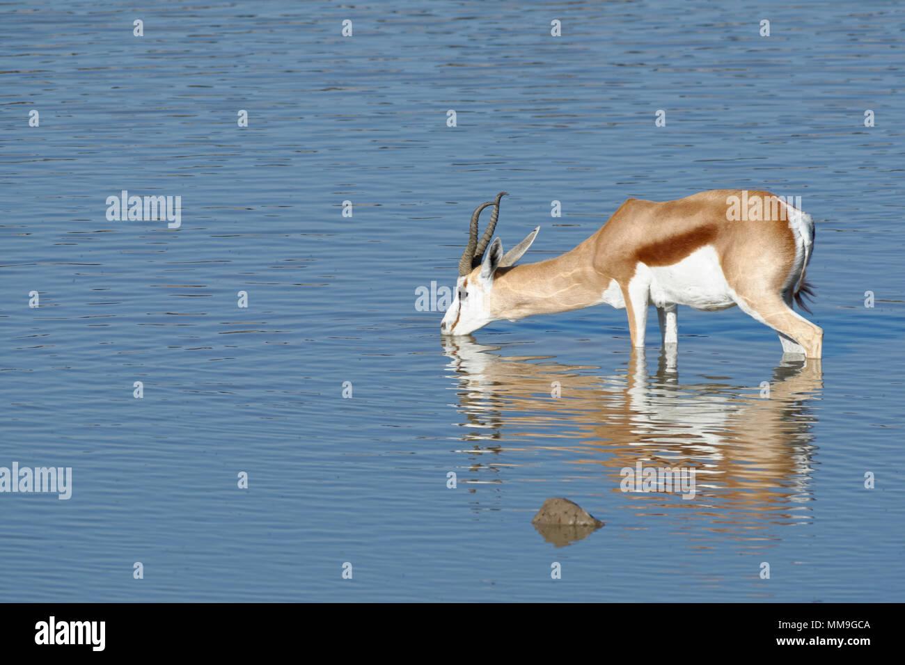 Le Springbok (Antidorcas marsupialis), mâle adulte, debout dans l'eau, d'alcool, point d'Okaukuejo, Etosha National Park, Namibie, Afrique Photo Stock