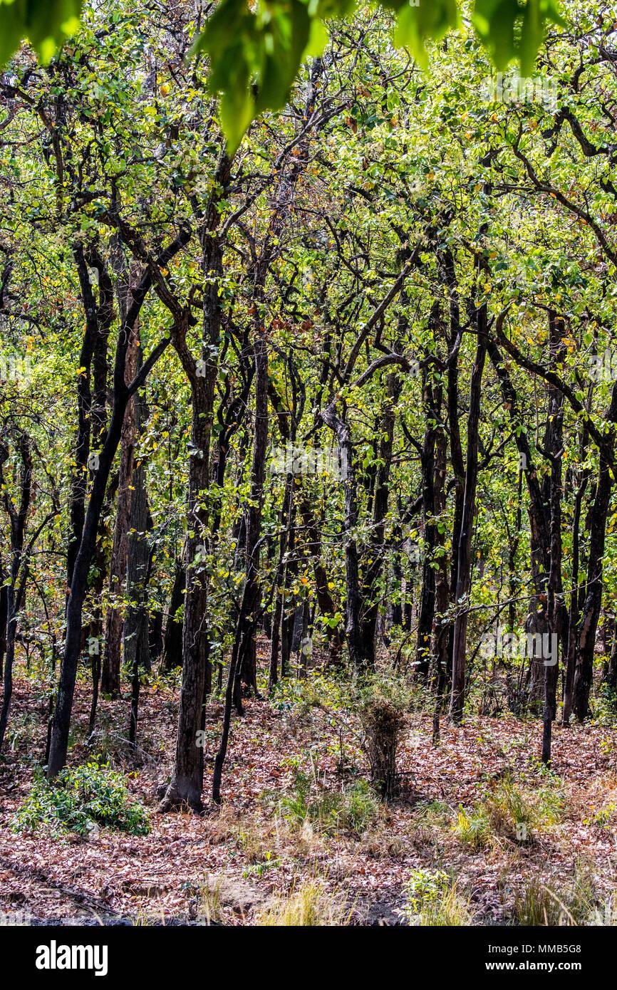 époustouflant Forêt de Sal Arbres, Shorea robusta, également connu sous le nom d &SJ_74