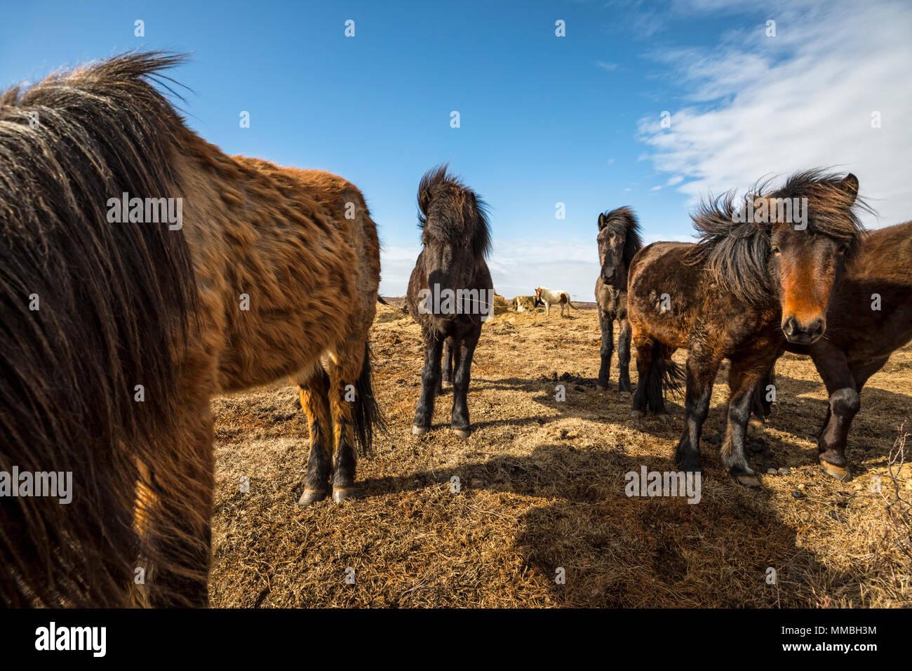Chevaux, Islande Photo Stock