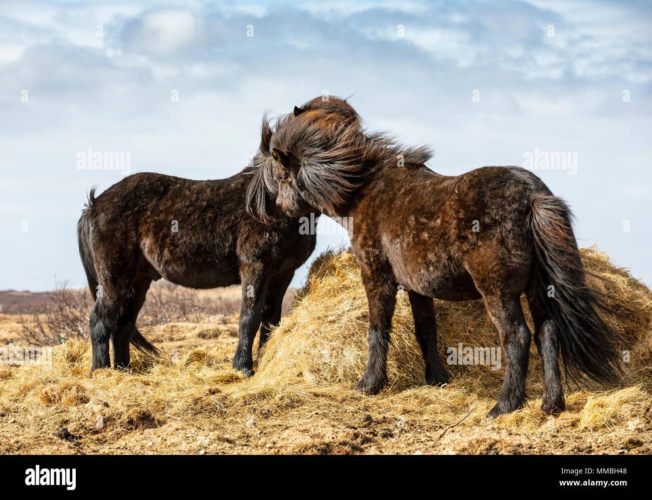 Deux chevaux, l'Islande Photo Stock