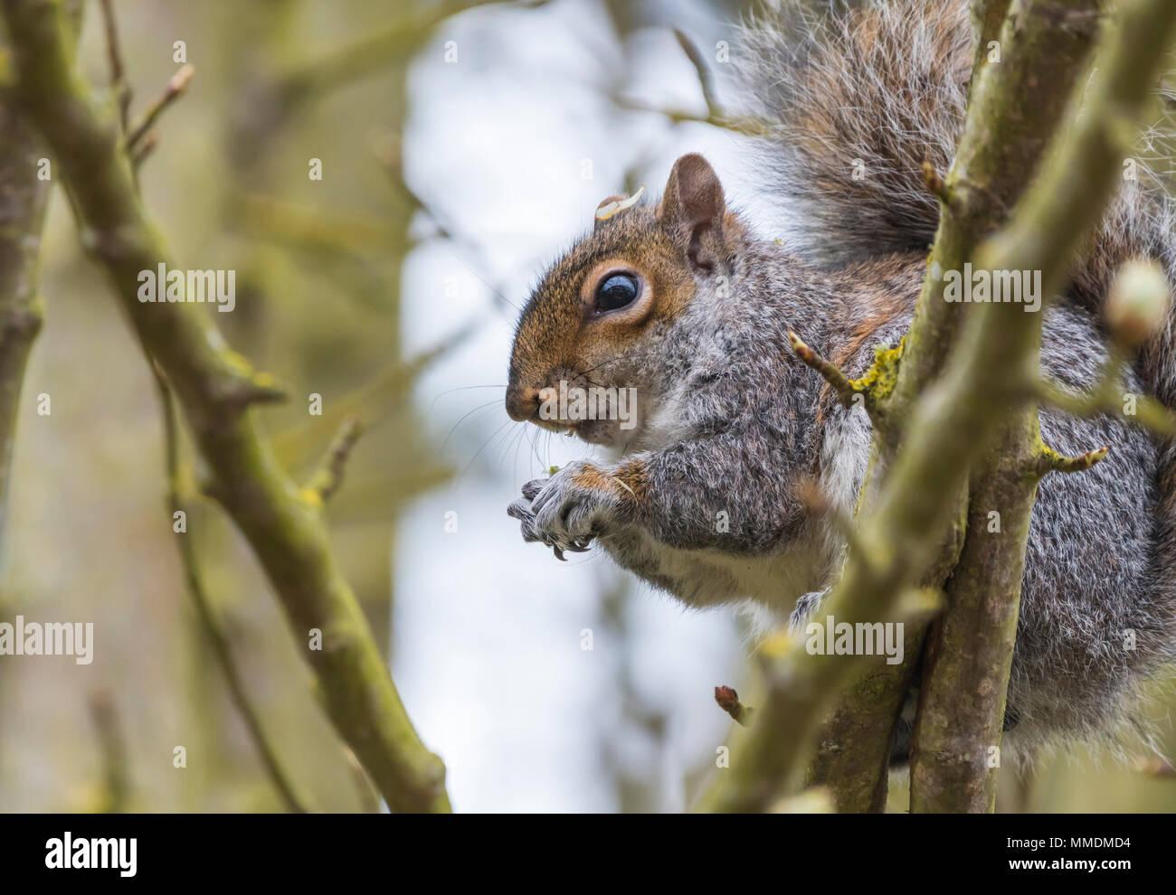 L'Écureuil gris (Sciurus carolinensis) assis dans un arbre de manger une noix au printemps dans le West Sussex, Angleterre, Royaume-Uni. L'Écureuil gris. Photo Stock