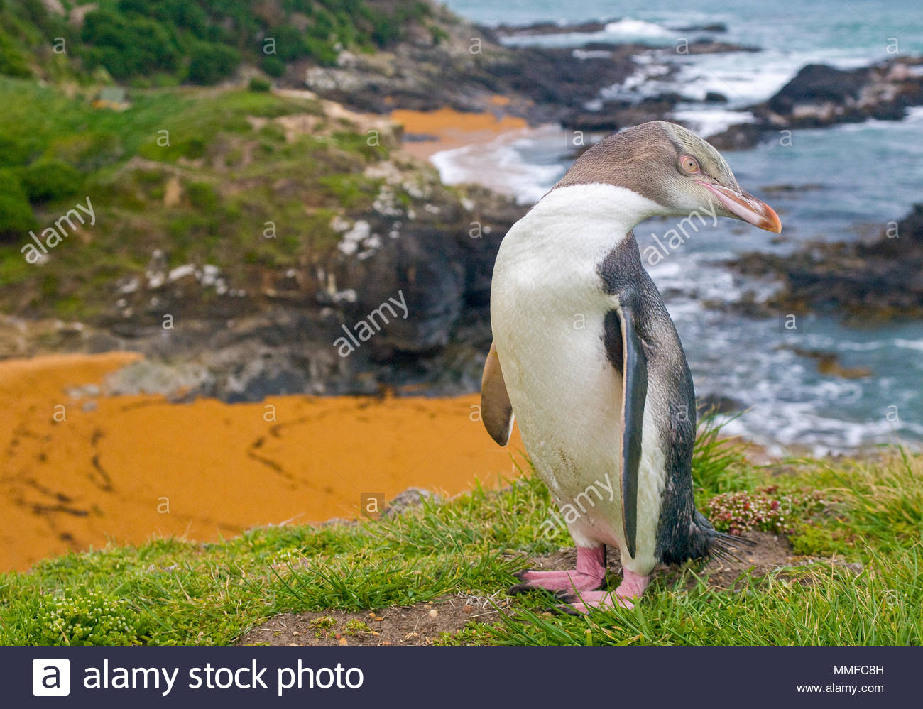 Yellow-eyed Penguin , Megadyptes antipodes, ou Hoiho debout sur les falaises. Photo Stock