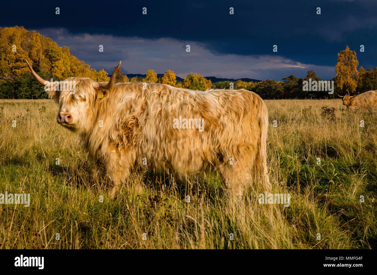 La vache Highland ou coo comme il est connu, c'est un grand animal mignon et un peu poilue. Plutôt docile sur un étouffant la journée! Photo Stock