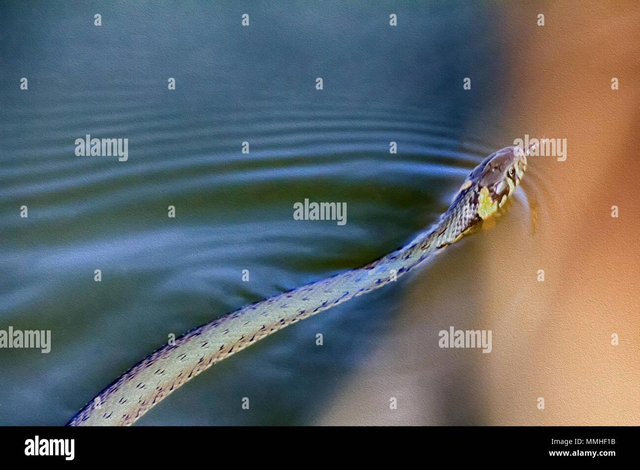 Couleuvre à collier (Natrix natrix) dans l'eau, flottant serpent, tête de couleuvre avec des points jaunes. La peinture à l'huile teintée de dessin photo Photo Stock